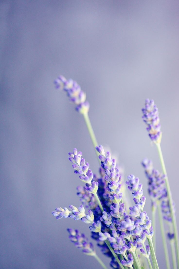 Try Out A Sample Of Lavender Essential Oil Absolutely Free Growing Lavender Lavender Plant Lavender Flowers