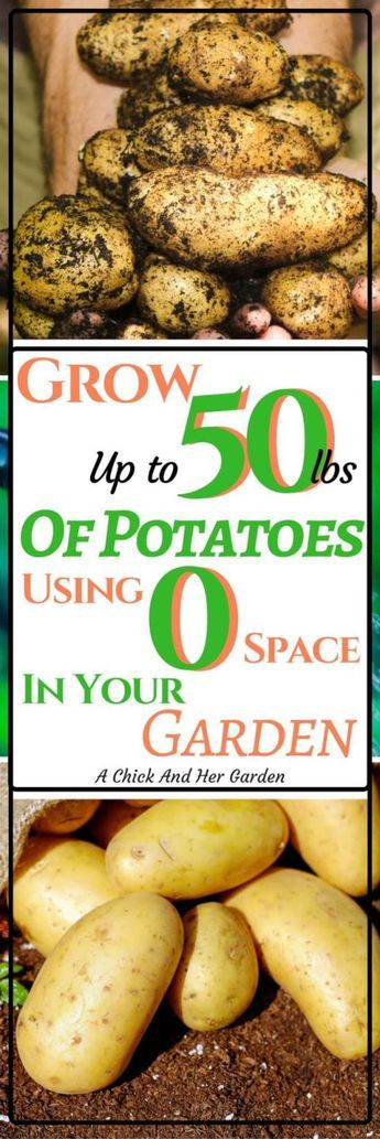 Potatoes taking up too much space in your garden? Check out how we grow them using NO SPACE! #gardening #gardenhacks #growingpotatoes #homesteading #containergardening