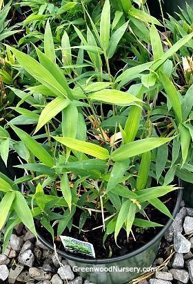 Dwarf Bamboo  https://www.greenwoodnursery.com/dwarf-bamboo-pleioblastus-distichus
