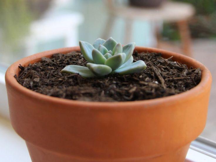 boutures cactus et succulentes (2)