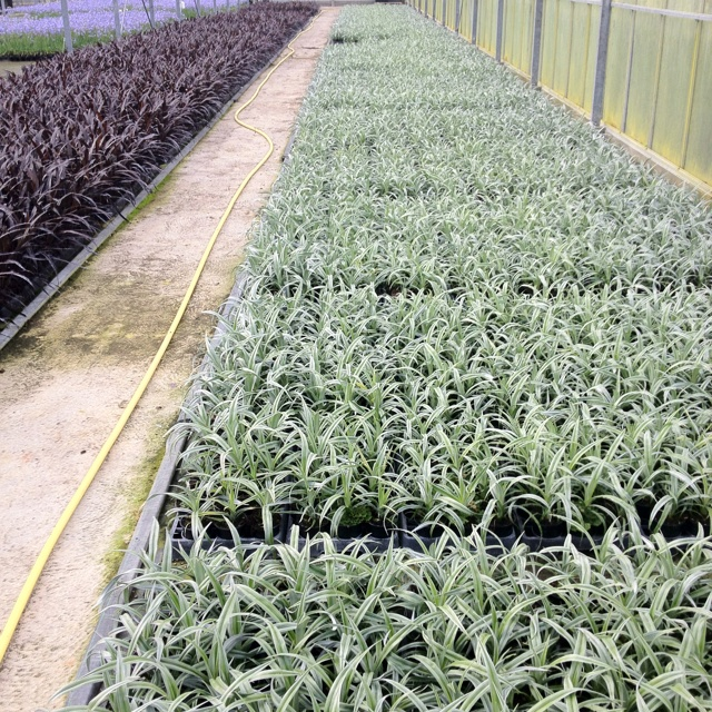 Astelia Silver Shadow to right Cordyline Renegade to left. Two great patio / balcony container plants. Dark and Light side!