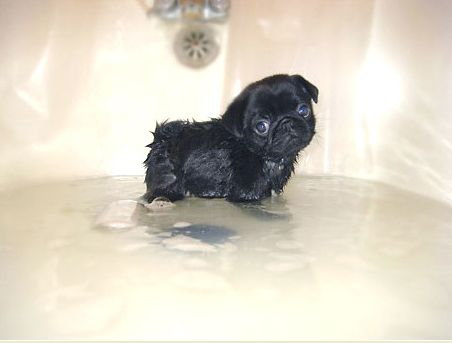 Pug puppy bathtime is my new favourite thing ever