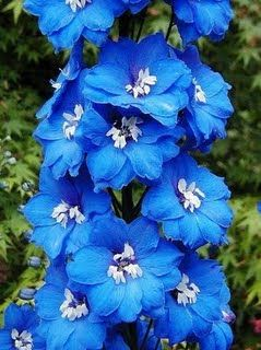 Larkspur is my daughters birth flower what an amazing tattoo this would be :)