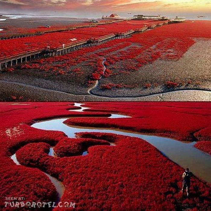 plage rouge de Liaohe