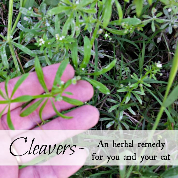 Oak Hill Homestead: Cleavers, An Herbal Remedy for You and Your Cat