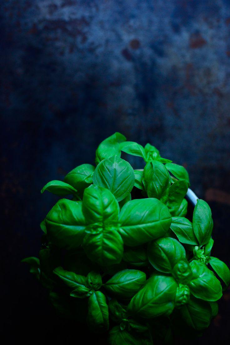 pianta di basilico. basil plant.