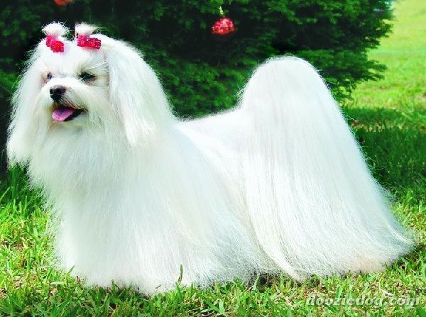 Il Cane Maltese Info With Images Maltese Dogs Maltese Dogs Care Maltese Puppy