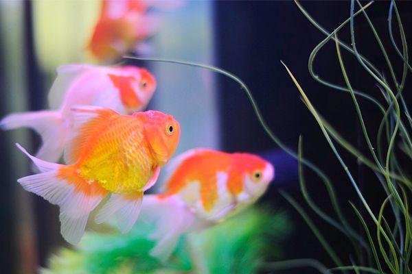 Ketahui Cara Terbaik Bela Ikan Emas   http://www.wom.my/ada-apa/cara-terbaik-bela-ikan-emas/