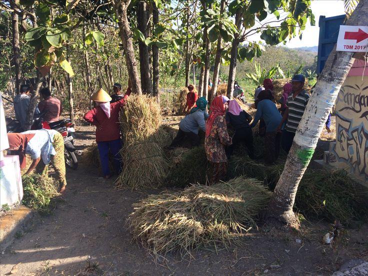 "Aktivitas memanen padi dan menyiapkan ""damen"" atau batang padi untuk pakan ternak. Akankah lahan pertanian di Yogyakarta - Sleman akan mampu bertaham melawan perkembangan yang berbasis pembangunan infrastruktur."