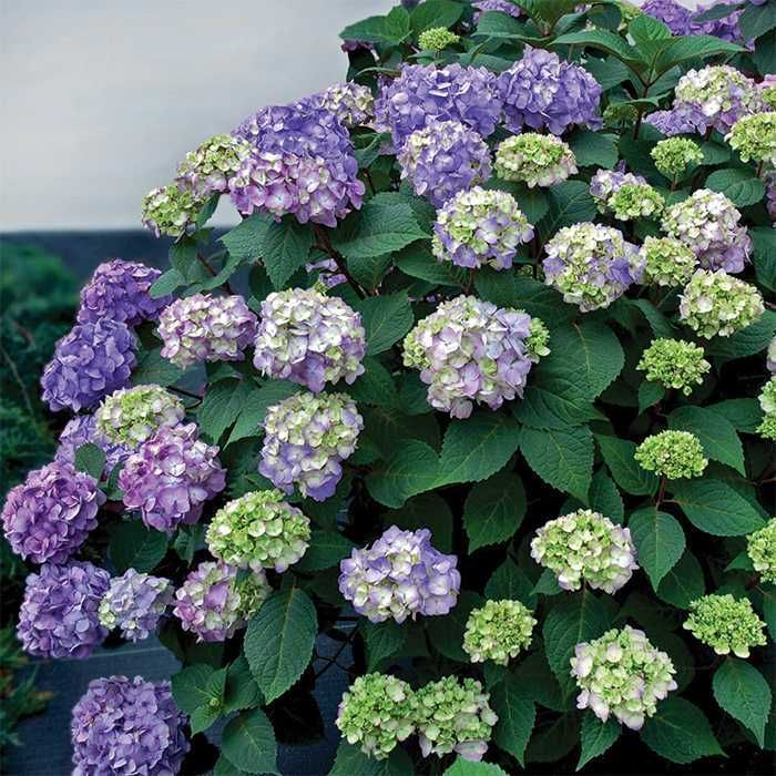 Bloomstruck Hydrangea - side of deck (3 to be installed May 2016 by Meadow Farms)