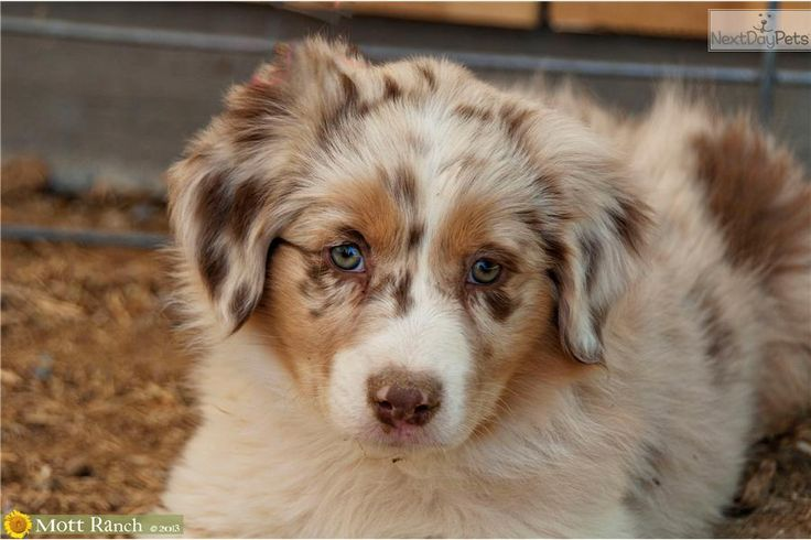 You'll love this Female Australian Shepherd puppy looking for a new home.