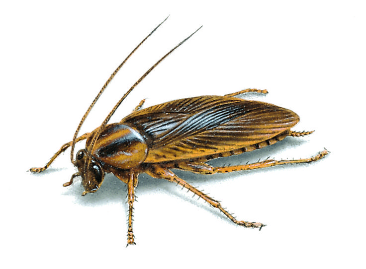 german-cockroach-illustration_923x680.jpg 923×680 pixels
