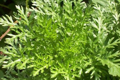 Crisantemo edibile Chrysanthemum coronarium o Glebionis coronaria o ghirlanda o corona margherita ricco di antiossidanti, potassio, proteine, fibre, calcio, fosforo, vitamina A e vitamina C i petali gialli e i boccioli essiccati per tisane, le foglie crude o cotte come spinaci, i boccioli e i fiori si utilizzano crudi. Gusto un po' piccante e pungente dal gradevole retrogusto amarognolo.http://www.inorto.org/2015/11/il-crisantemo-da-fiore-triste-novembrino-a-fiore-commestibile-nellorto/