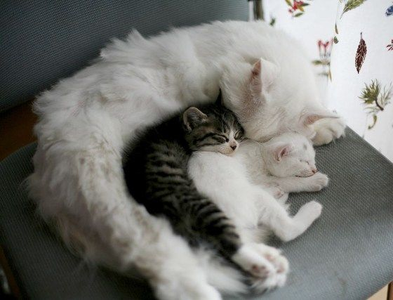"Awwwww.... cute cat mama cuddling with kittens... from ""lovemeow.com"""
