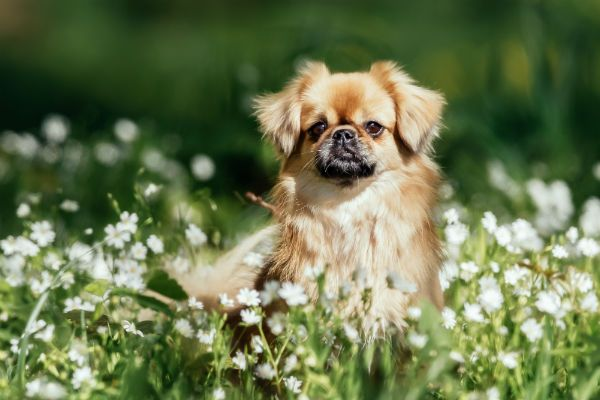 7 Things You Didn T Know About The Tibetan Spaniel American Kennel Club Tibetan Spaniel Dog Breeds Spaniel