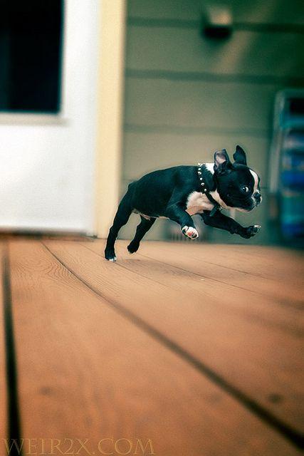 Airborne Boston Terrier