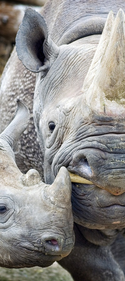 Black Rhino Mother and Baby!! precious! lots of wrinkles and creases here!!!