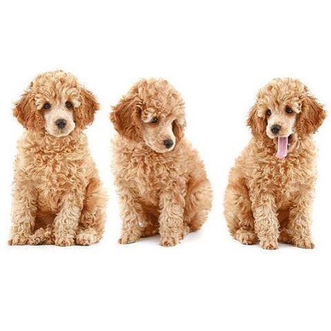 Miniature poodle brain size