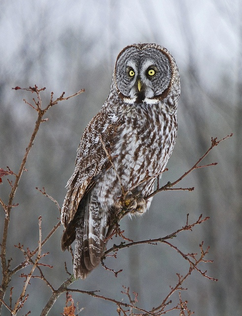 Great Gray Owl, Ontario  by Brenda JH