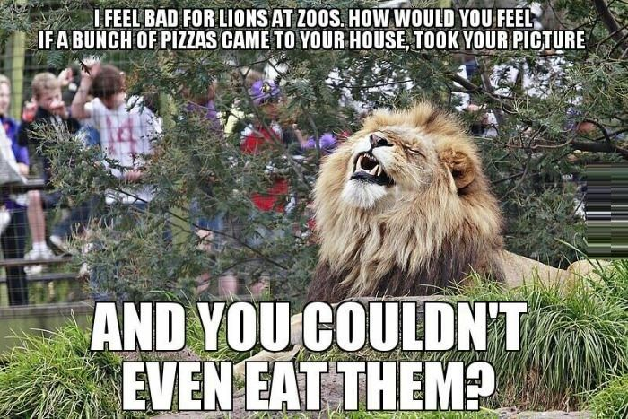 I feel bad for lions at zoos