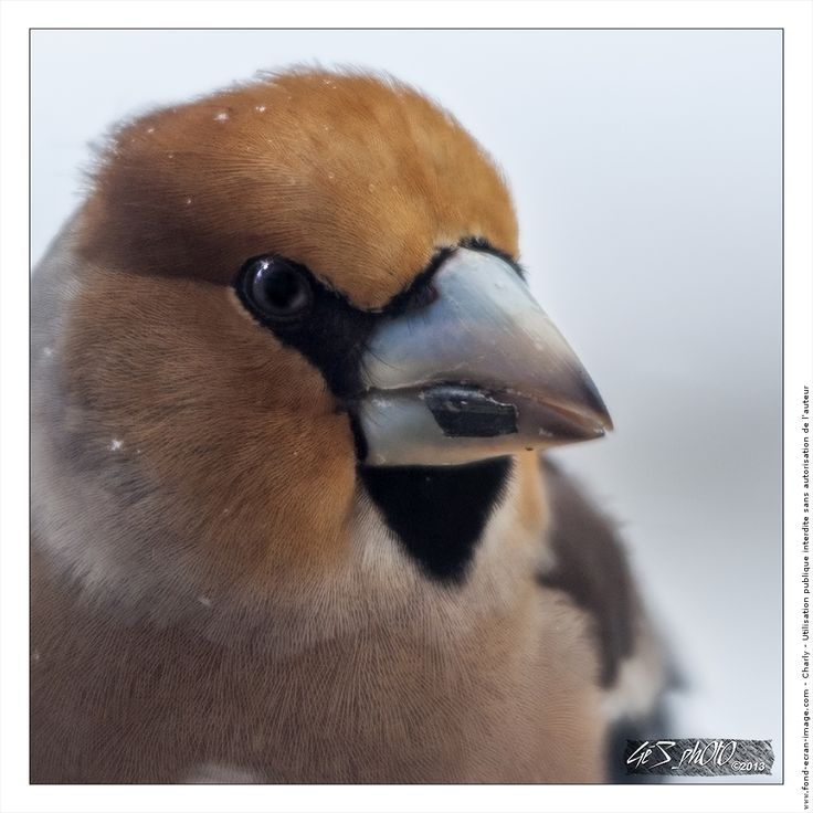 Oiseau gros bec casse noyaux portrait de gros bec