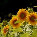 Flores Anuais