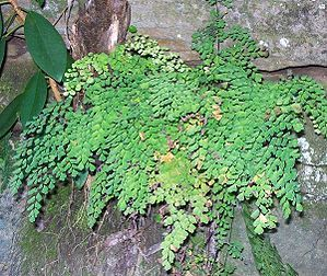 Adiantum aethiopicum - Common Maidenhair - grows to about 45 cm high, rapidly spreads. In warm gardens, this vigorous creeping fern makes a beautiful groundcover or rockery plant. It resents total shade, doing best in a moist sheltered position where it gets some early morning sun. Excellent for hanging baskets or containers. Keep slightly moist at all times.