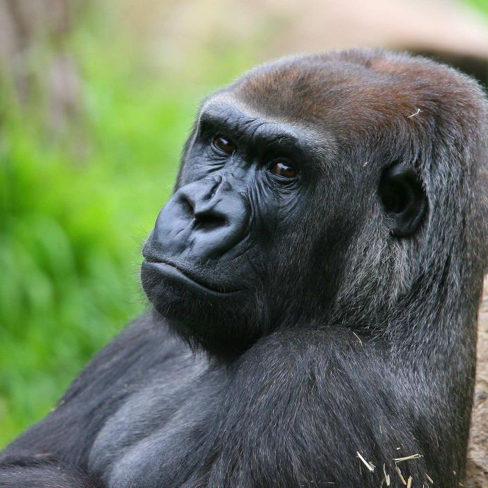 A female gorilla at Melbourne Zoo has died of complications from injuries inflicted by a young male.