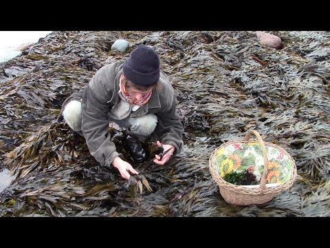Harvesting Edible Seaweed (And Introducing the Kelly Kettle and Extreme Greens Seaweed Book ) - YouTube