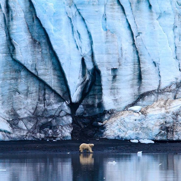 """""""Photograph by @susanseubert // A polar bear explores the beach in front of a glacier at the eastern end of Hornsund Fjord in southern Spitzbergen,…"""""""