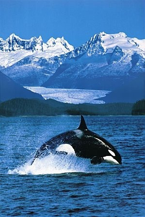 see this creature? It's a orca! Not a killer whale... I don't know why but I find it really annoying when they're not called their proper name