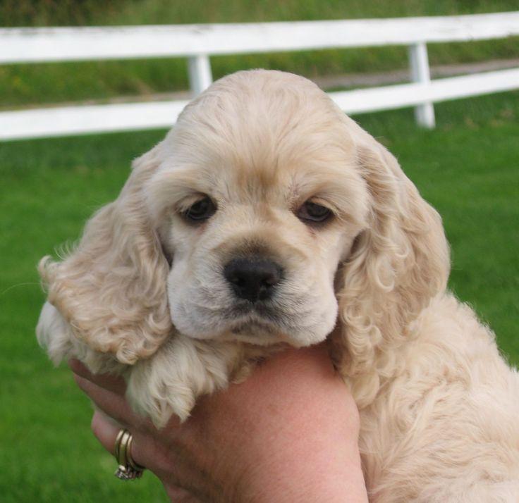 Cocker Spaniel Puppy Breeder Cocker Spaniel Puppies For Sale ...