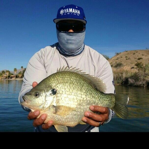 34 best bluegill redear warmouth sunfish images on for Bluegill fish tank