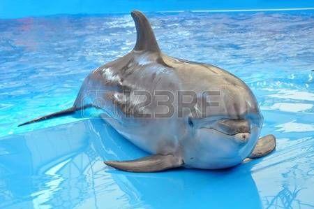 dolphin: bottlenose dolphin in blue water