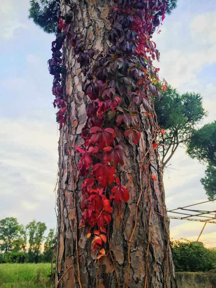 The rainbow ivy.