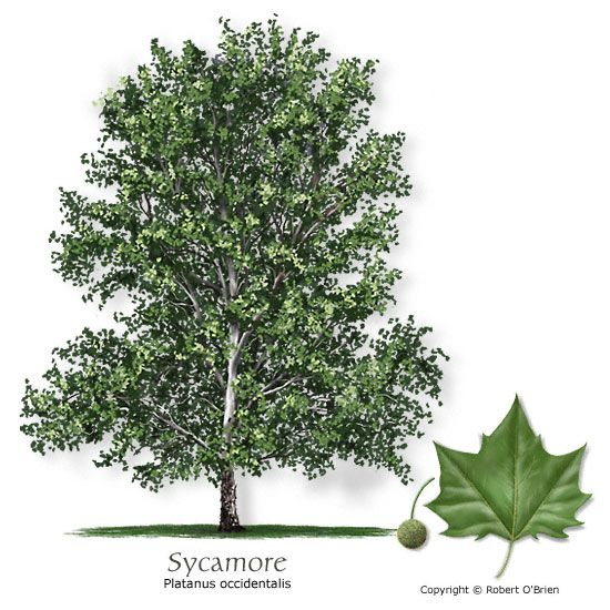 Sycamore American Planetree Native To The Area Deciduous Large Rapid Growth Rate Provide Plenty Of Room P Mexicana Trees For Blackland Farm