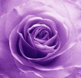 12 Purple Roses Said.
