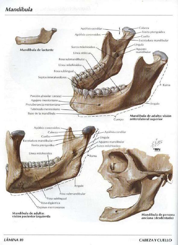 Asoterci Casc Huesos Del Craneo Y De La Cabeza Craneo Anatomia Atlas De Anatomia Anatomia Cabeza Y Cuello