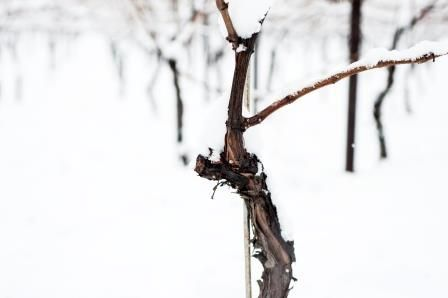 A grapevine in the snow