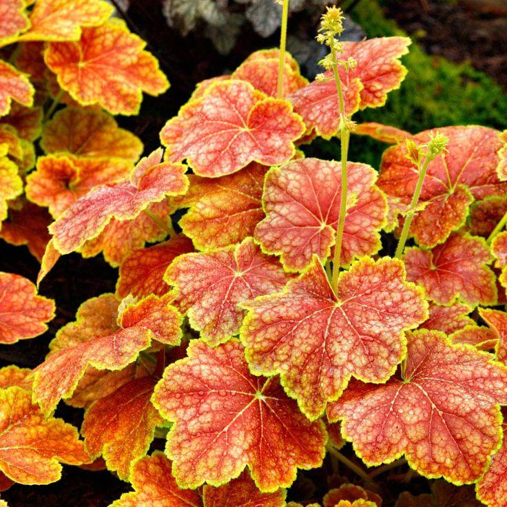 container gardens orange coral | Flowers Flower Plants Cottage Garden Plants Heuchera 'Delta Dawn'