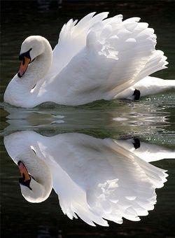 beautiful swan...