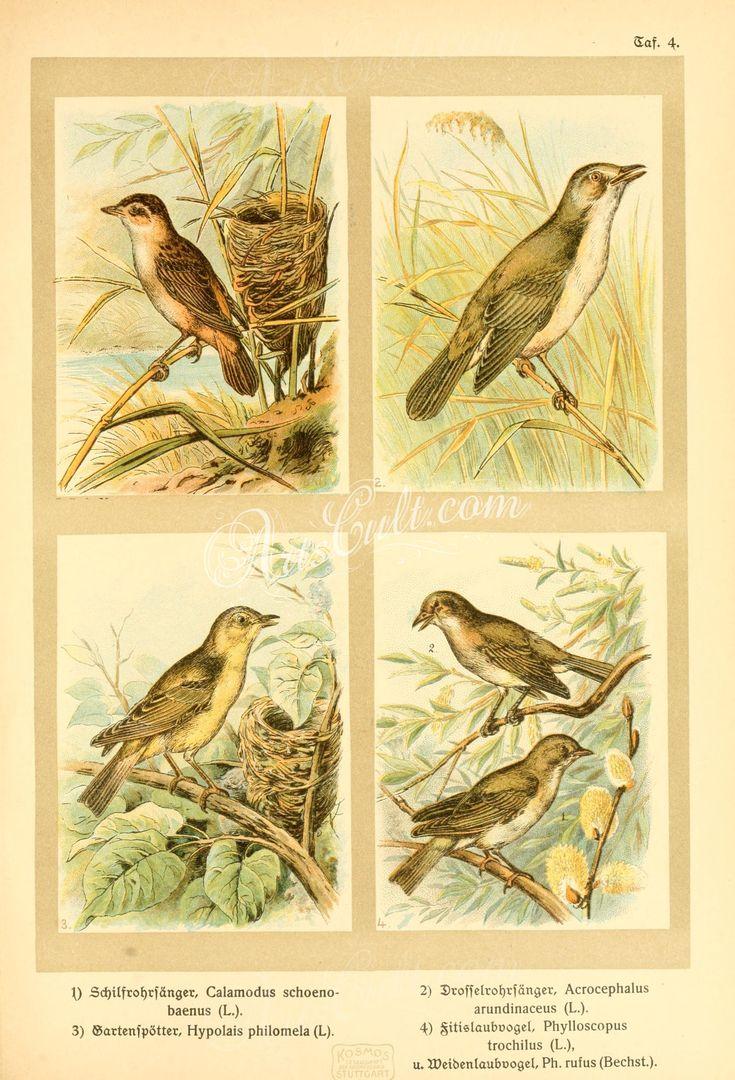Sedge Warbler, Great Reed Warbler, hypolais philomela, Willow Warbler, Chiffchaff      ...