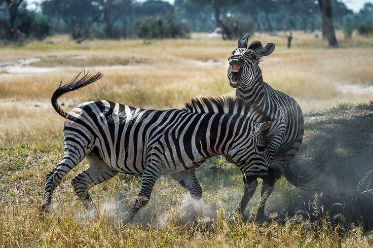 Incredible sightings at Linkwasha Camp #HwangeNP #Zimbabwe