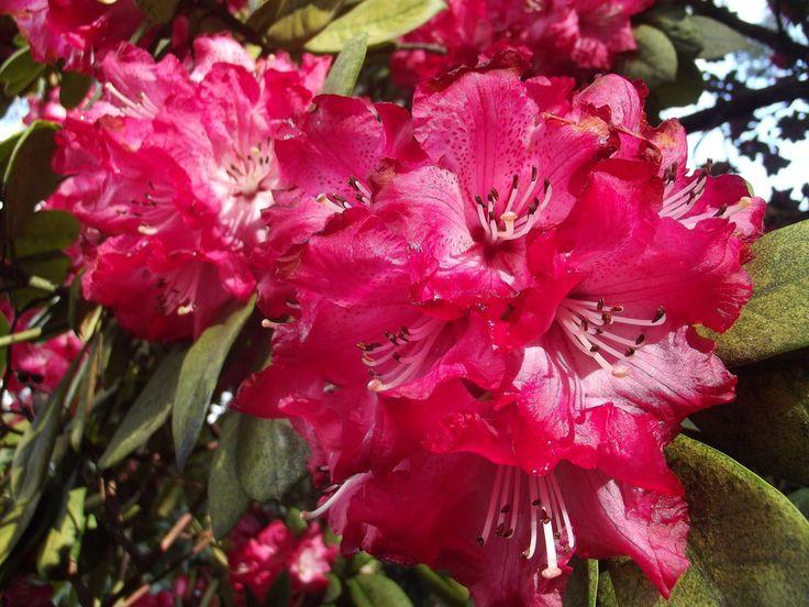 Deep Pink Rhododendrons - Taken at the Mount Lofty Botanic Garden, South Australia.