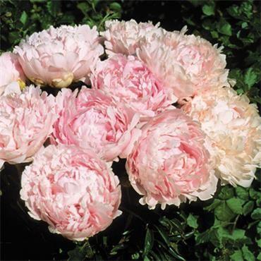 Peony Roses Johnstown Garden Centre, Ireland