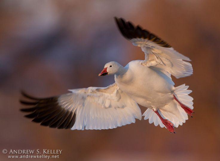A Snow Goose (Chen caerulescens)
