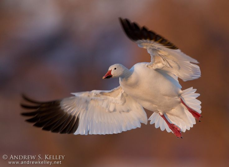 A Snow Goose (Chen caerulescens)