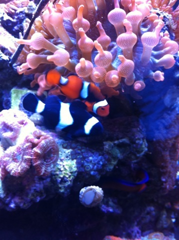 85 best images about clown fish on pinterest best bud for Clown fish scientific name