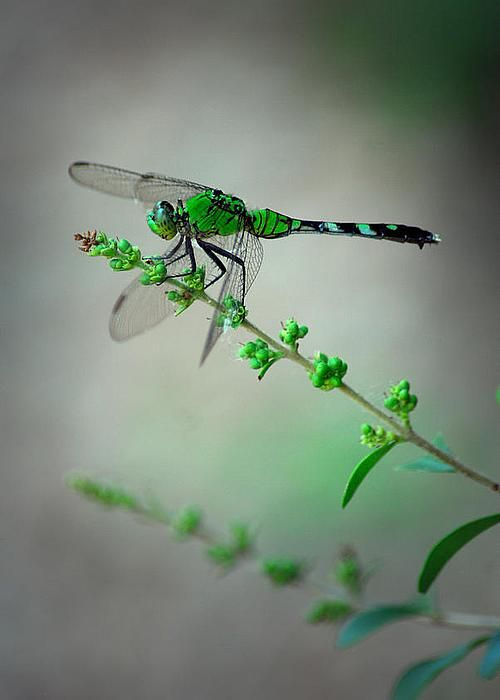 Green Dragonfly by Tracy Smith