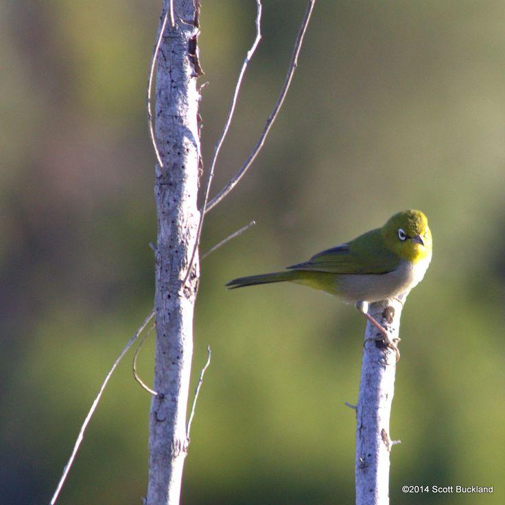 Silvereye - Denmark, Western Australia - ©2014 Scott Buckland